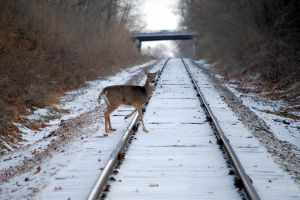 deer crossing tracks