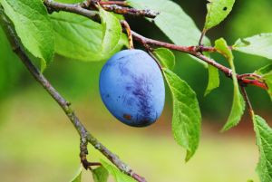 Are there different types of plum trees?