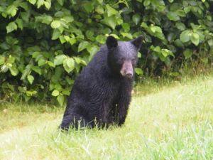Missouri Black Bear